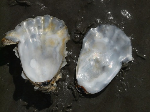 oyster-57650_640