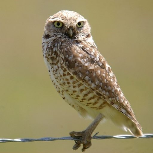 cropped-burrowing-owl-icon.jpg