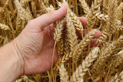 wheat-1530321_640
