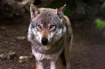 wolf-635063_640