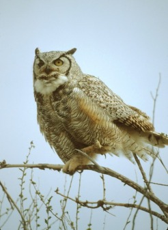 great-horned-owl-1022660_640